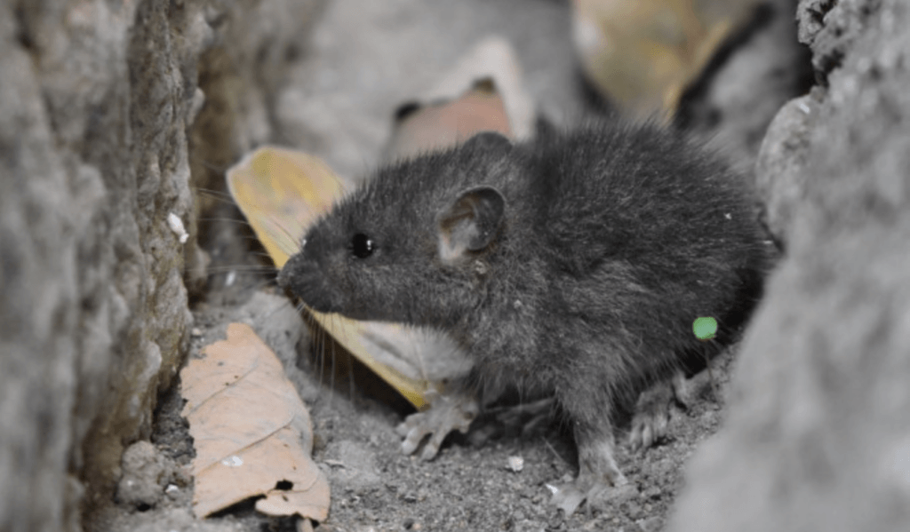 Unwelcome mouse