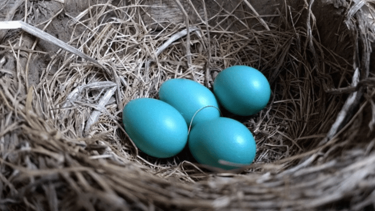 What Birds Lay Blue Eggs? - Robin nest with eggs