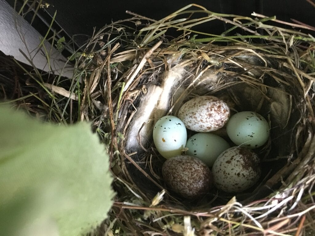 Do Robins Reuse Nests? Two sparrows eggs and three cowbird eggs