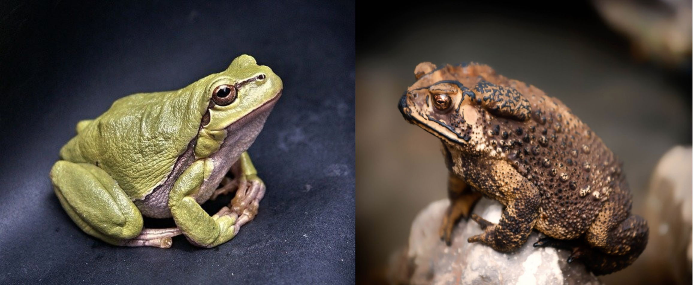 What Is the Difference Between a Frog and a Toad? - Frog and Toad facing each other