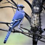 Where Should You Hang a Suet Feeder to Get More Birds? - Blue bird by Suet Feeder