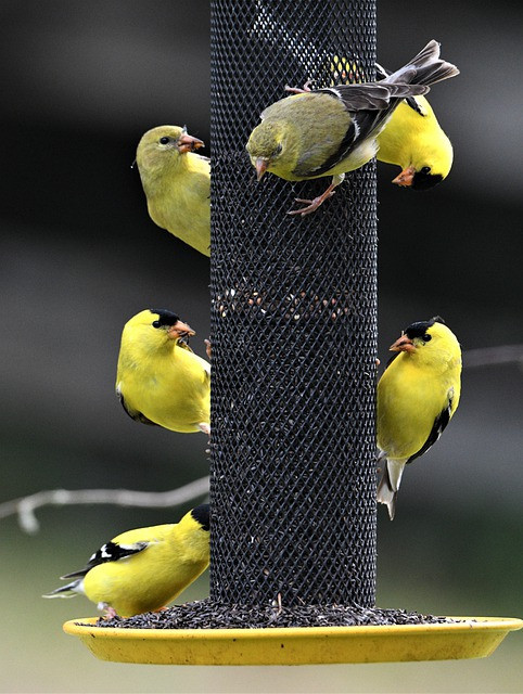 10 Things to Know About Nyjer Seeds - Goldfinch eating on feeder