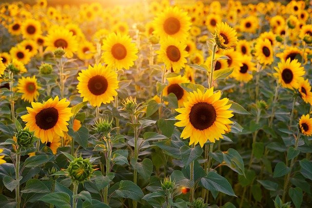 Do Sunflowers Face Each Other On Cloudy Days? - Field of sunflowers