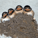 Are Swallows Good to Have Around? - Swallows Nest