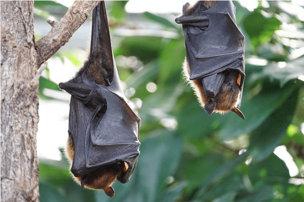 Do Bat Houses Help With Mosquitoes? - Two Bats Hanging